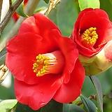 블루수국( 새로입고) 추위에 강해요    꽃대가 쌍대에요