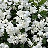 조경수 고광나무 스노우벨(Snowbelle) p9 포트 / 조경수묘목 / 나무묘목 / 겹꽃나무 / 꽃나무 / 향이좋은꽃 /