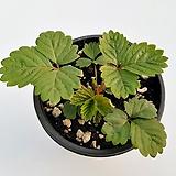 야생딸기(잎차,잼등)|