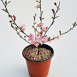 산앵두나무(소품)|