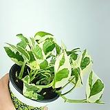 엔조이스킨 스킨답서스 스킨 공기정화식물 한빛농원 