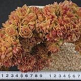 Aeonium Salad bowls