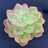 일본벽모란 Echeveria cv Beniothine