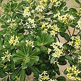 만리향(아주좋은향).상태굿.향기아주좋습니다.만리향은 꽃이 만리까지 간다고 만리향이라고합니다.남부지역에서 노지월동가능.|