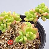 Echeveria macdougallii