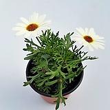 목마가렛(큰꽃흰색소품)|Echeveria halbingeri