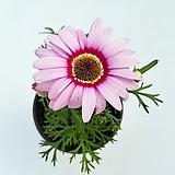 목마가렛(큰꽃분홍색소품)|Echeveria halbingeri