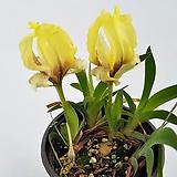 노랑게이비붓꽃(사진배송/묵은주)|