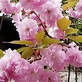 왕겹벚꽃|