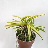 금루각 |variegated