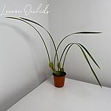 막실라리아 테누이포리아 Maxillaria tenuifolia (소형/중형/대형/특대형)|