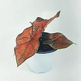 스파이더 레드 칼라디움 공기정화식물 한빛농원 Haworthia attenuata