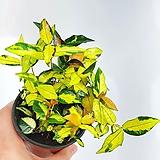 황금마삭줄 무늬마삭줄 마삭줄 공기정화식물 한빛농원 variegated