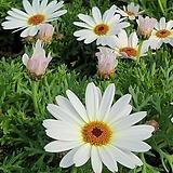 목마가렛 흰큰꽃|Echeveria halbingeri