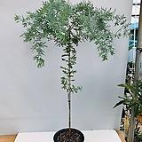 은엽아카시아 (특대품 동일품배송 )|