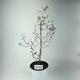 소포라 공기정화식물 사진상품발송 A-03 한빛농원 