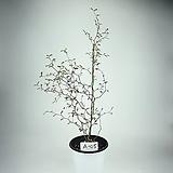 소포라 공기정화식물 사진상품발송 A-05 한빛농원 