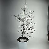 소포라 공기정화식물 사진상품발송 A-07 한빛농원 