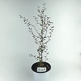 소포라 공기정화식물 사진상품발송 A-09 한빛농원 