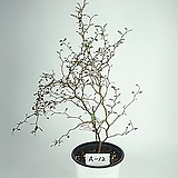 소포라 공기정화식물 사진상품발송 A-12 한빛농원 