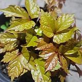 황금담쟁이|variegated