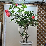 스템장미.스탠드형식장미.4계장미.예쁜살구빛핑크.old rose 향기.꽃크기10-13cm.(꽃형 예쁜형).월동가능.상태굿..늦가을까지 피고 합니다.|