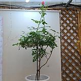 스템장미.스탠드형식장미.4계장미.예쁜살구빛핑크색.old rose 향기.꽃크기10-13cm.(꽃형 예쁜형).월동가능.상태굿..늦가을까지 피고 합니다.|