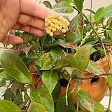 호야.룩타오.토분.(예쁜핑크색).꽃색깔예뻐요.향기좋은향.아카사카향.인테리어효과.공기정화식물.잎도예뻐요.꽃있어요.|
