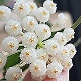 호야.라쿠노사(깨끗한 흰색).꽃색깔예뻐요.향기좋은향.아카사카향.인테리어효과.공기정화식물..잎도예뻐요.|
