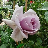 프랑스장미.청자색.old rose 향기.예쁜청자색.(꽃형 예쁜겹형).울타리.넝쿨장미.월동가능.상태굿..늦가을까지 피고 합니다..|
