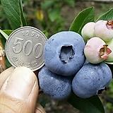 자가수정 블루베리나무/왕블루베리/유실수/과일나무