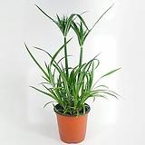 파피루스 수경재배 공기정화식물 한빛농원 