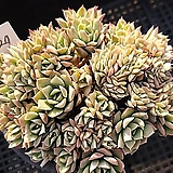 Echeveria bradburiana