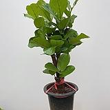 [목대엄청굵고 수형좋은] 튼튼한 떡갈고무나무 2/ 동일품배송 
