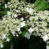 수국. 등불수국.귀한상품.월동가능.흰색꽃.고급종.노지월동.화단에 심는용도로 좋습니다.깨끗하니 예쁘네요.|