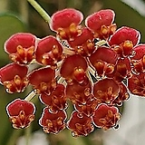 호야.마이당(진한핑크).꽃색깔예뻐요.향기좋은향.인테리어효과.공기정화식물.꽃눈 있어요.잎도예뻐요.|
