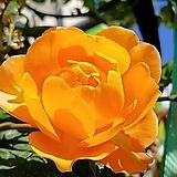 네델란드장미.허니 캬라멜.웨딩부케용장미.예쁜선명한주황색.과일향과몰약향기.(꽃형 예쁜형).울타리.넝쿨장미.월동가능.상태굿..늦가을까지 피고 합니다.|