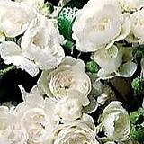 독일장미.피아노시리즈중.크리스탈페어리.예쁜백색.예쁜흰색.과일향과몰약향기.(꽃형 예쁜형).울타리.넝쿨장미.월동가능.상태굿..늦가을까지 피고 합니다.|Echeveria elegans potosina Crystal