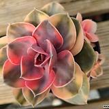 웨스트레인보우군생한몸|Echeveria rainbow