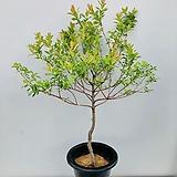 삼색버드나무 (동일품배송 )|