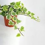 무늬아이비 칼라아이비 아이비 줄기쭉쭉 공기정화식물  한빛농원 