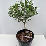 올리브나무 외목대/동일품배송  