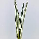 화이트산세베리아 (동일품배송 )|