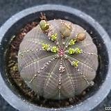 오베사(암)-131|Euphorbia obesa (Baseball Plant)