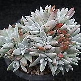 화이트그리니-131|Dudleya White greenii
