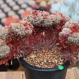 묵은턱시판철화 Echeveria tuxpan