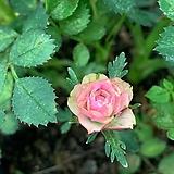 꽃대를 올리는 애기겹찔레 (사진촬영 2021년 3월 26일)