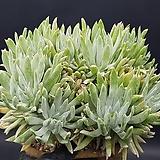 목대짱) 천녀검 10두자연군생대품  0415-14|Titanopsis calcarea