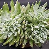 목대꿀) 천녀검  3두자연군생  0415-6|Titanopsis calcarea
