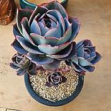 미국블루써프라이즈 대품|Echeveria Blue Surprise